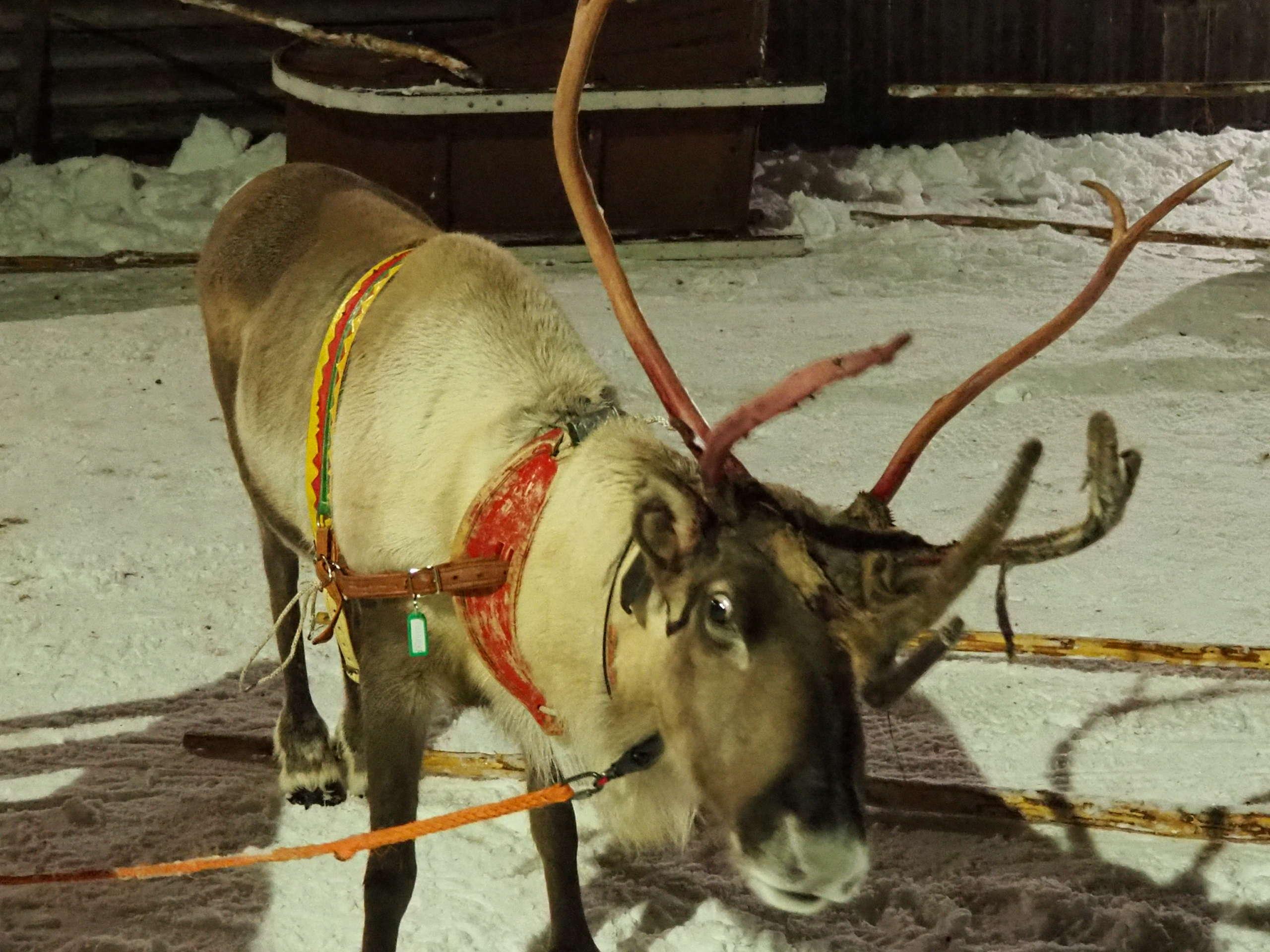 Safari en trineos de renos en Laponia